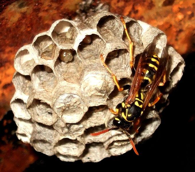"""фото """"осиное гнездо"""" метки: макро и крупный план, природа, насекомое"""