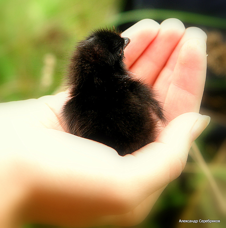 """photo """"птица,природа,фауна,человек,рука,тепло"""" tags: nature, genre, wild animals"""