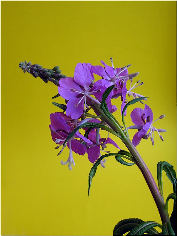 """photo """"Ivan tea"""" tags: nature, flowers"""