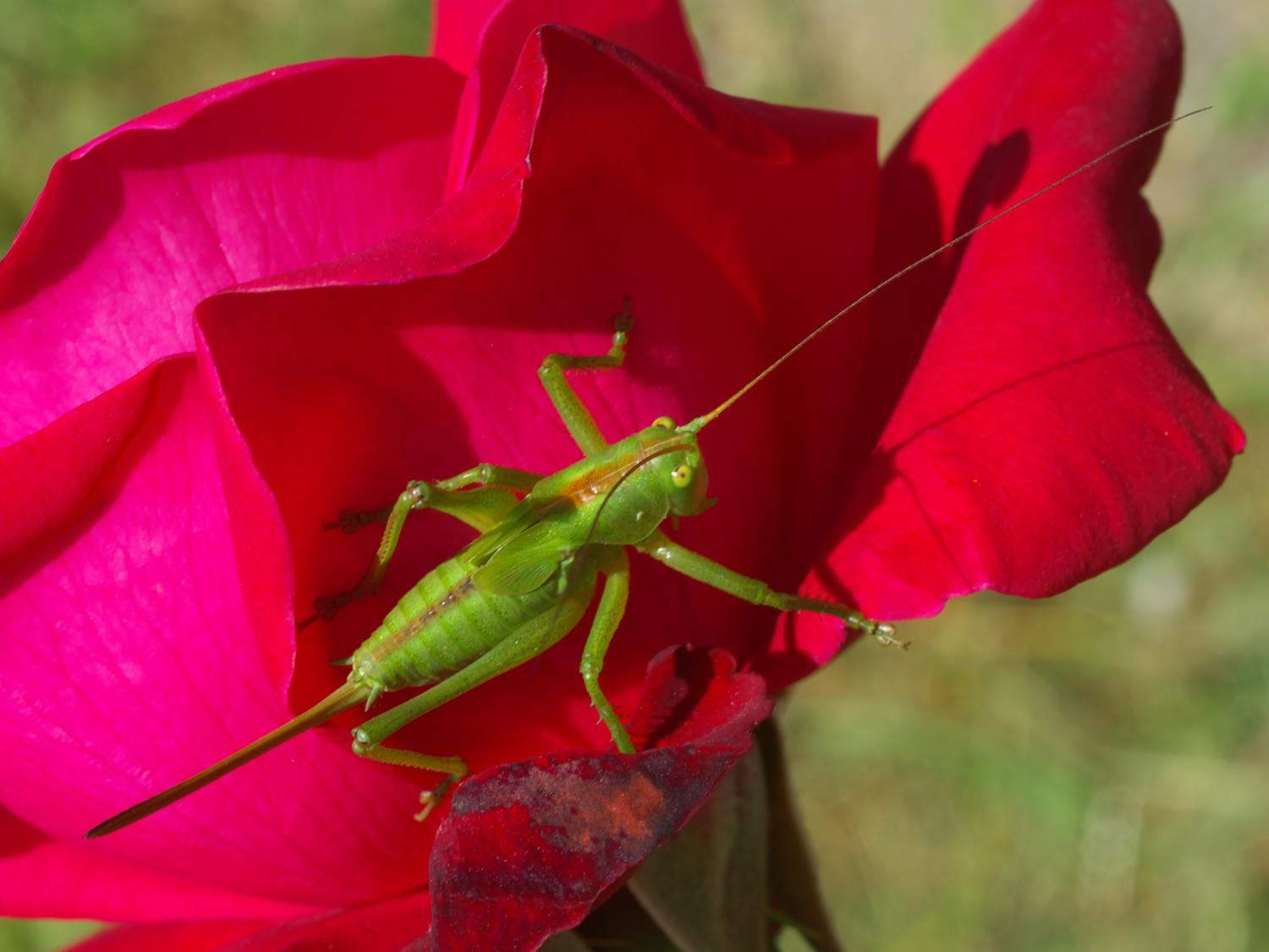 """photo """"cricket on rose"""" tags: nature, insect"""