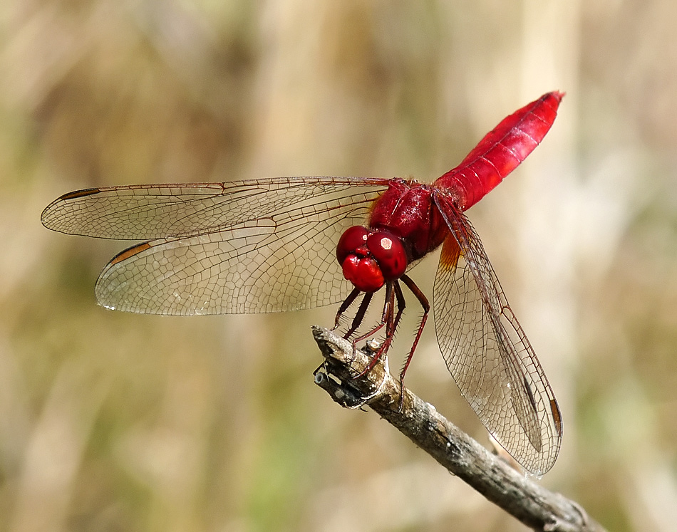 """photo """"Crocothemis erythraea"""" tags: nature, insect"""