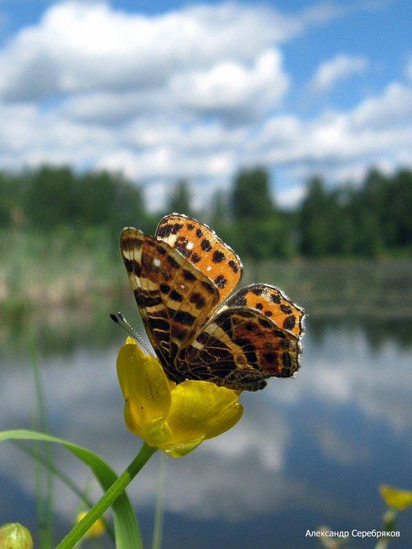 "photo ""лето,природа,цветы,бабочка,пейзаж,макро"" tags: landscape, nature, insect, summer"