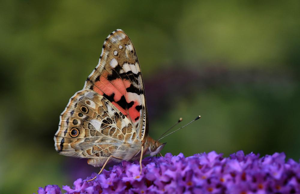 "photo ""Vanessa cardui"" tags: nature, wild animals"