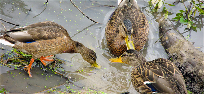 "photo ""Why Do Ducks Float and As Fly?"" tags: nature, pets/farm animals, wild animals"