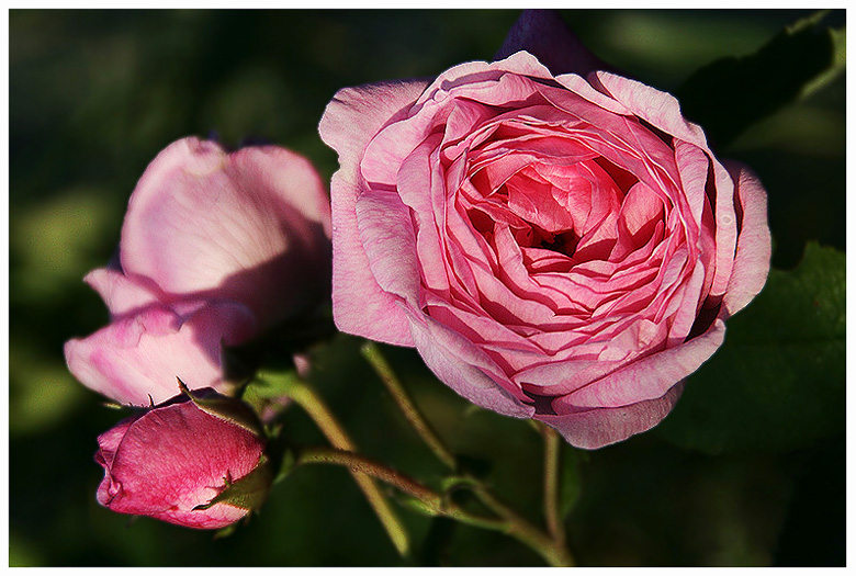 "photo ""The simple roses"" tags: nature, flowers"