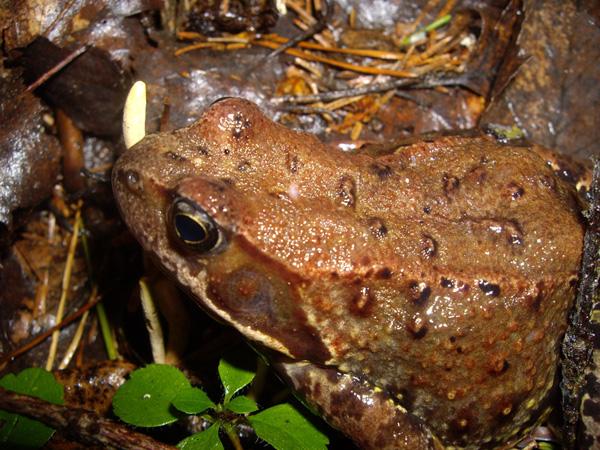"""фото """"Frog"""" метки: природа, макро и крупный план,"""