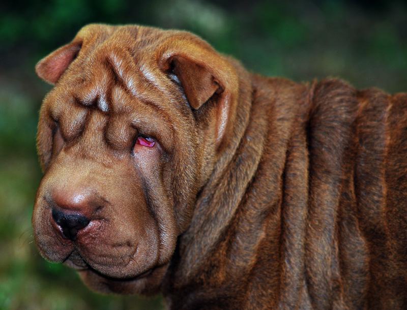 "photo ""Cleo the Shar Pei"" tags: nature, portrait, pets/farm animals"