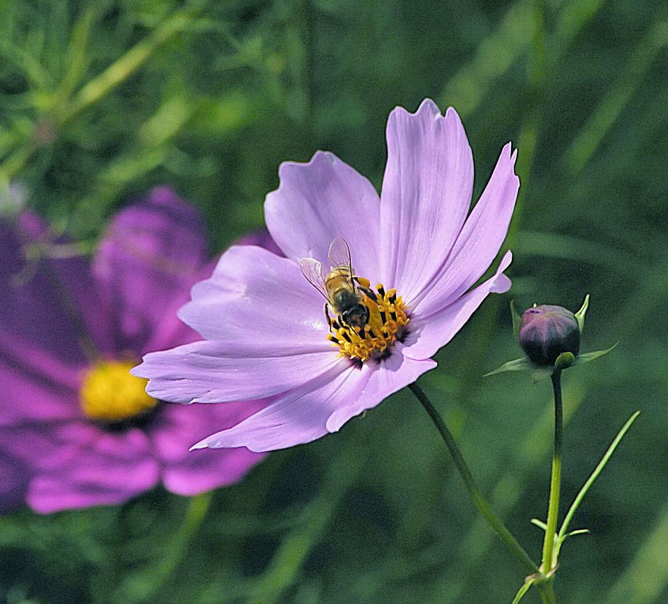 """photo """"Purple Kosmos"""" tags: macro and close-up,"""