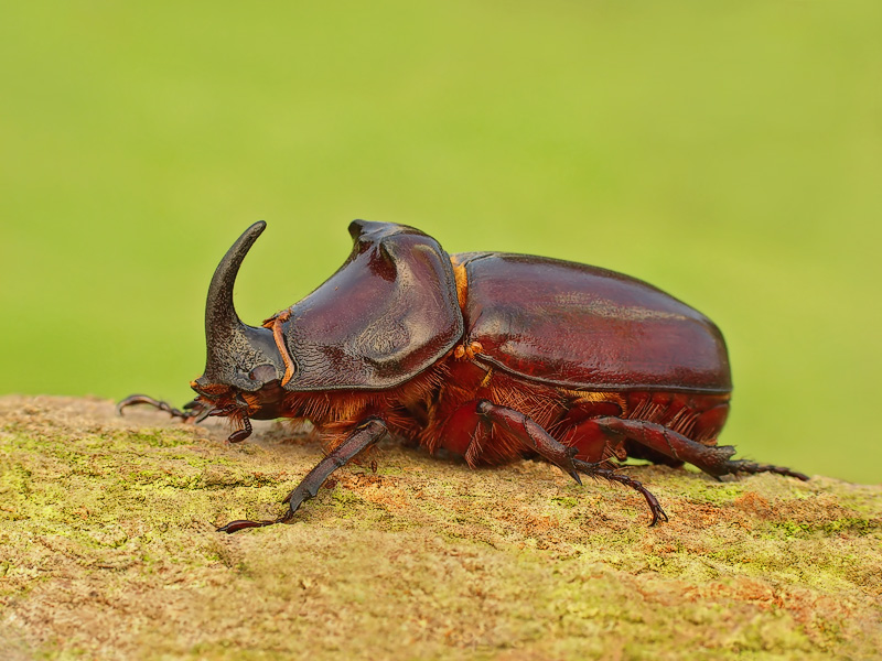 "photo ""European rhinoceros beetle"" tags: nature, macro and close-up, insect"