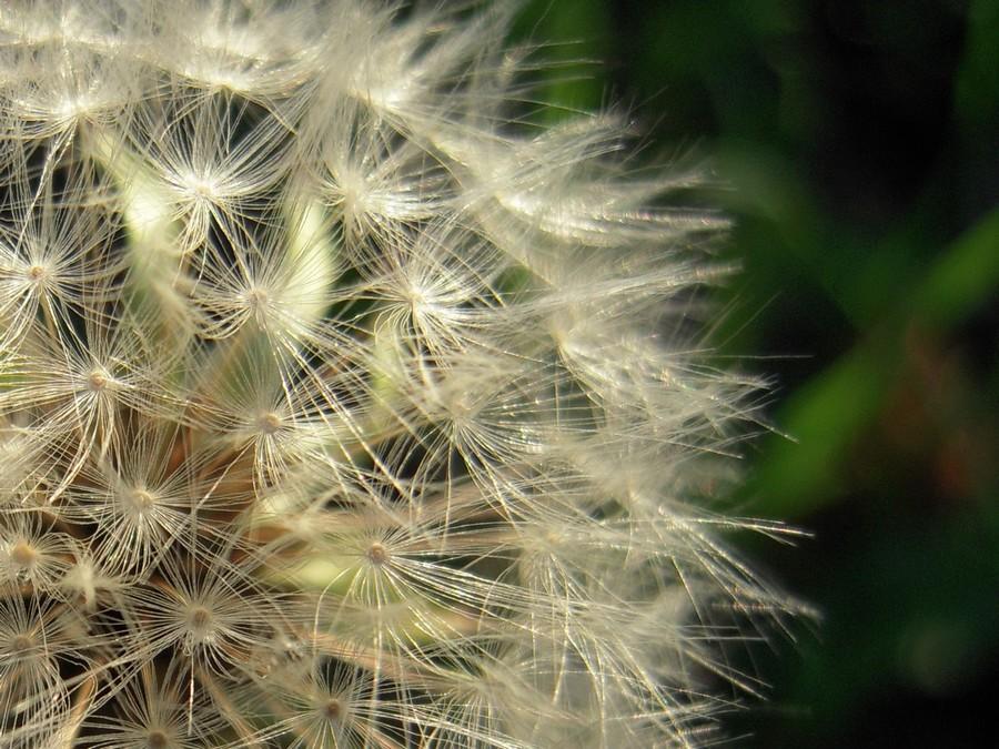 "photo ""Одуванчик - Dandelion"" tags: nature, flowers"