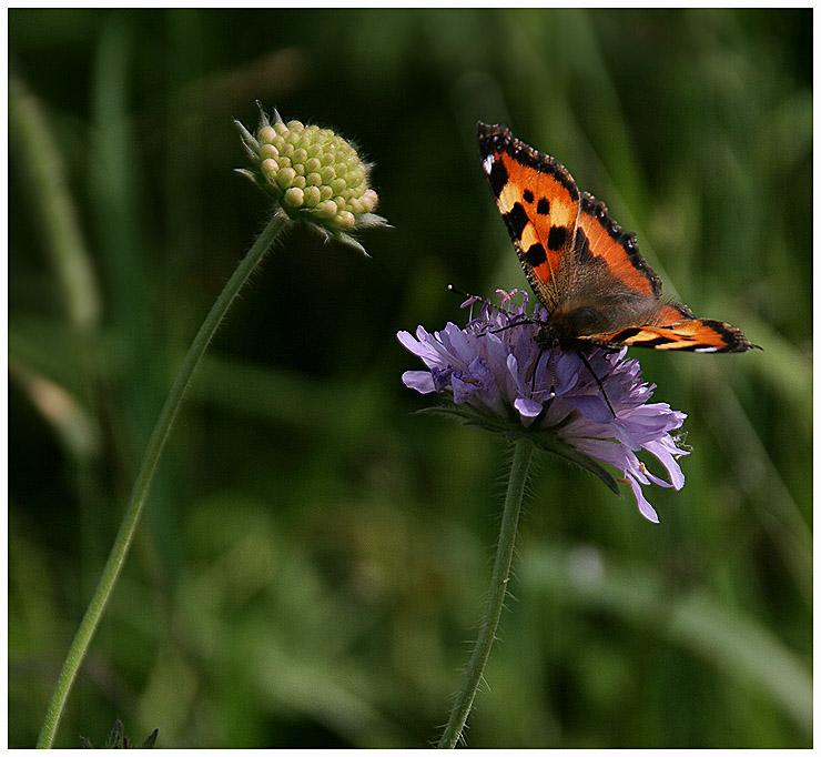 """фото """"Этот цветочек вкуснее"""" метки: природа, насекомое, цветы"""