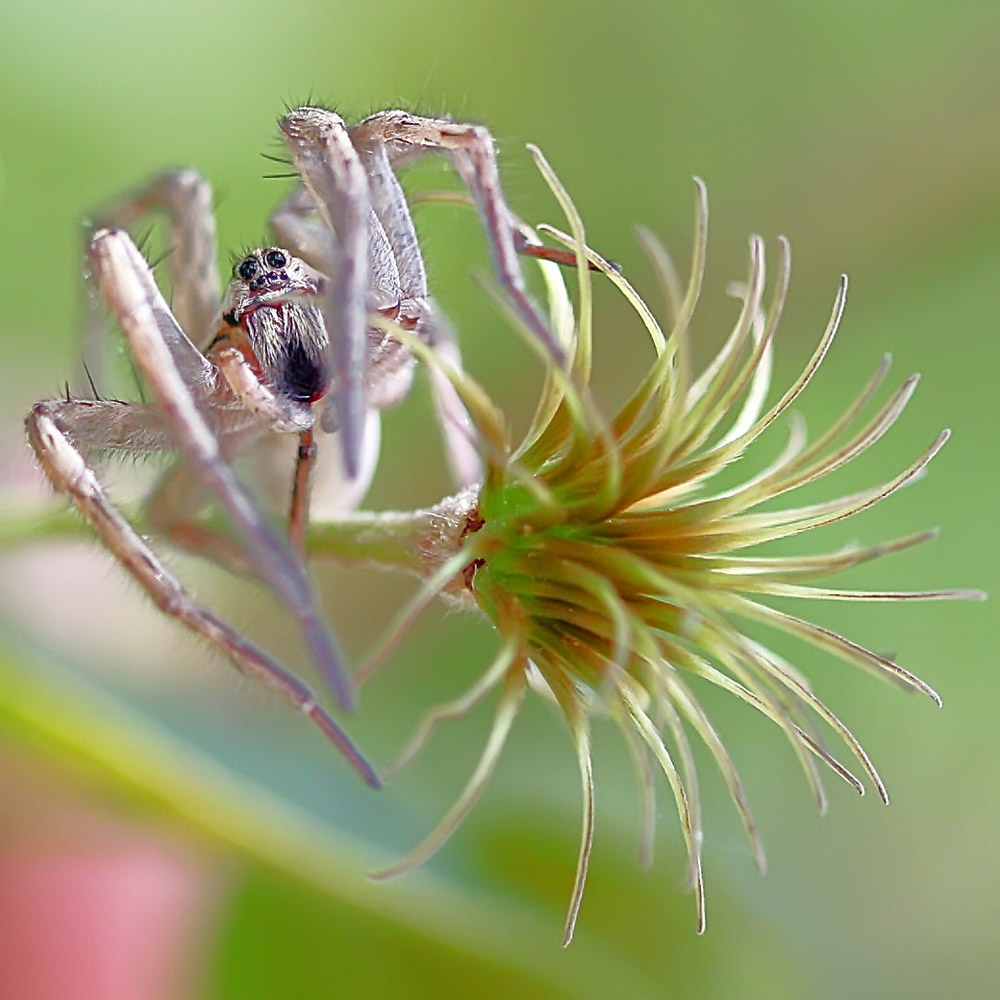 "photo ""The Dancing Spider"" tags: nature, macro and close-up, insect"