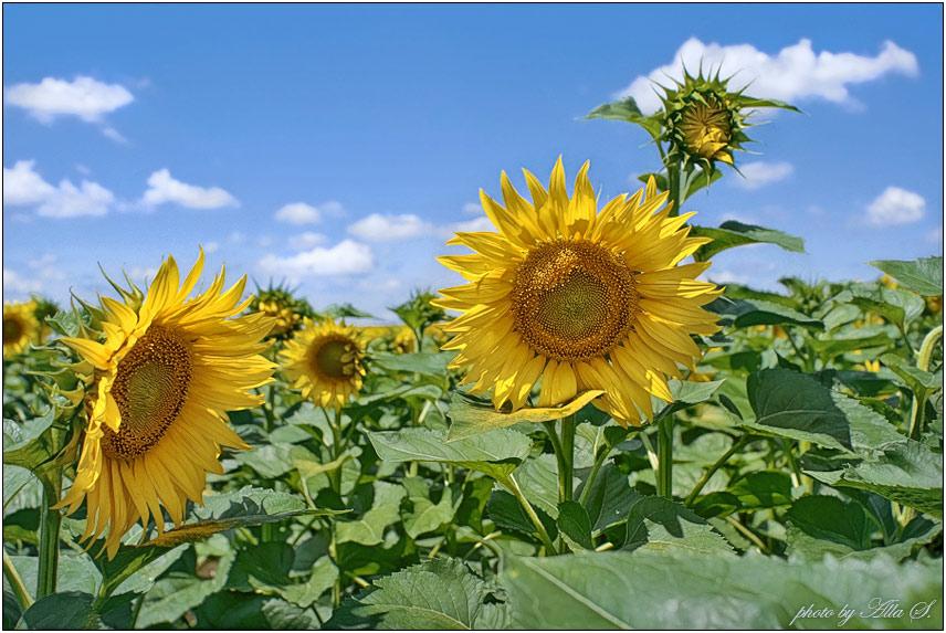 """фото """"Подсолнух - это маленькое солнце"""" метки: пейзаж, природа, лето, цветы"""