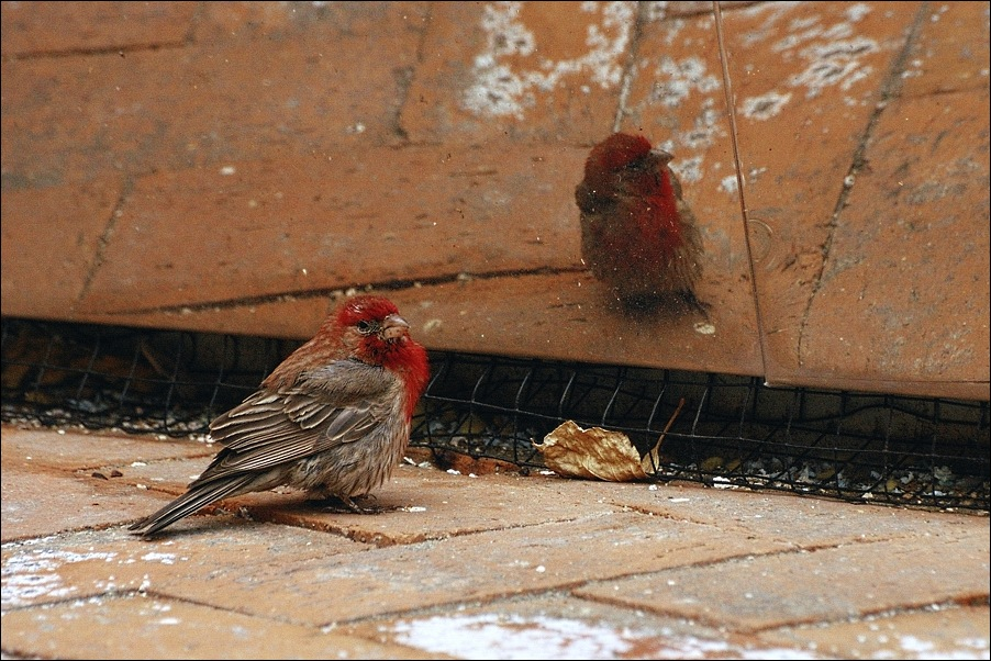 "photo ""House Finch"" tags: nature, pets/farm animals"