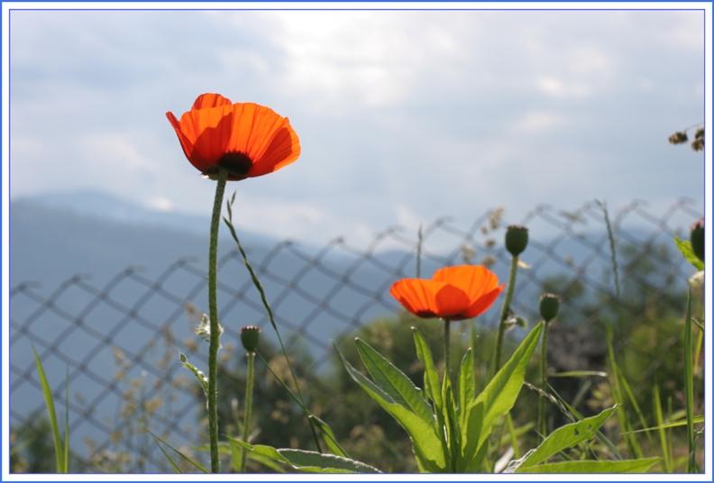 "photo ""Маки на Телецком Озере"" tags: nature, flowers"