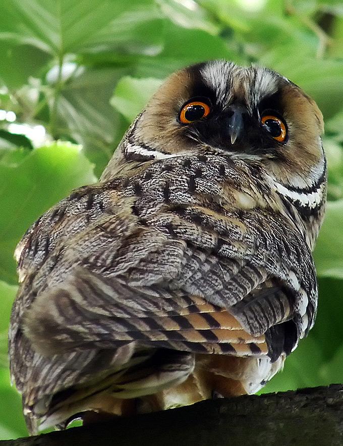 """фото """"Asio otus"""" метки: природа, дикие животные"""