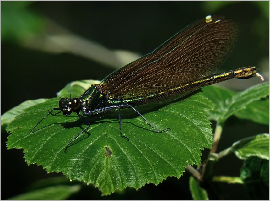 "photo ""Calopteryx"" tags: macro and close-up, nature, insect"