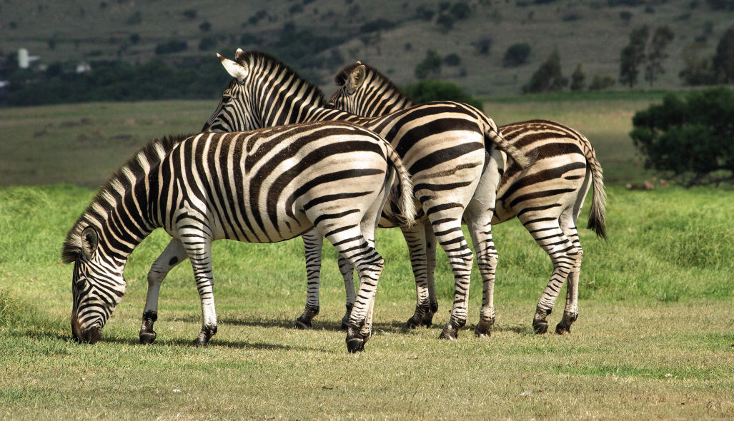 "photo ""3 Zebras in a Row"" tags: nature, wild animals"
