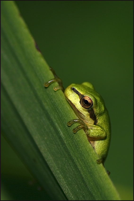 "photo ""Little tree frog"" tags: nature, macro and close-up, wild animals"