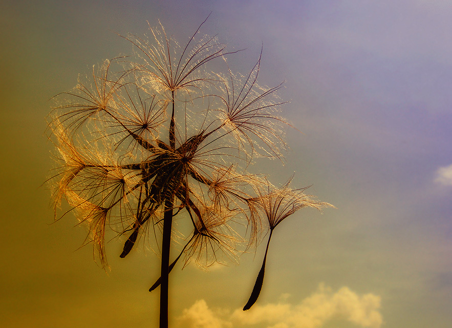 "photo ""Tragopogon"" tags: nature,"