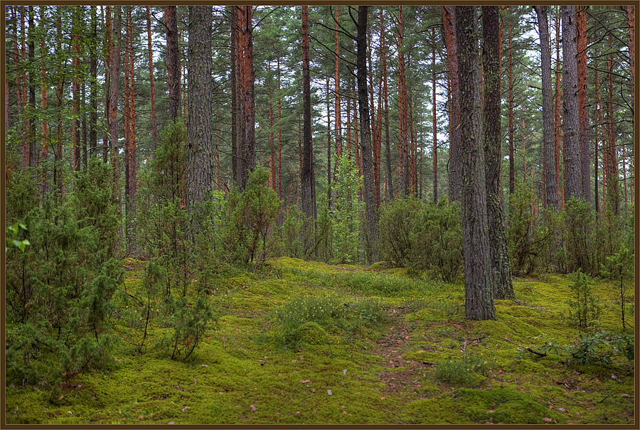 "photo ""In the pine wood"" tags: landscape, forest, summer"