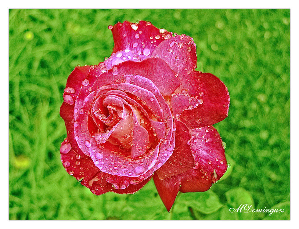"photo ""Rose and rain"" tags: nature, flowers"