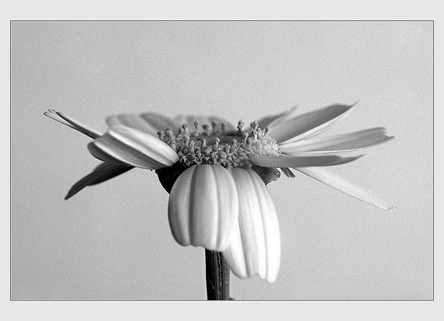"""фото """"""""Портрет""""  ромашки"""" метки: природа, разное, цветы"""