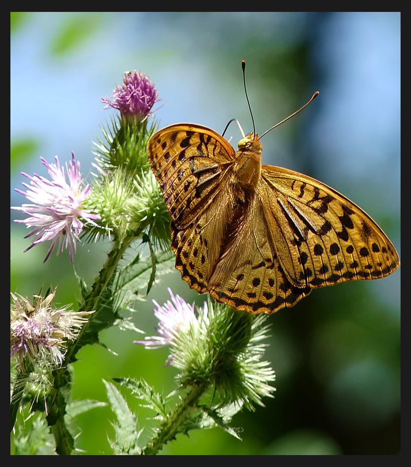 """фото """"Argynnis paphia"""" метки: природа, насекомое"""