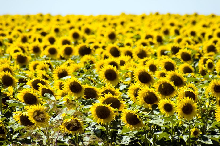 """фото """"подсолнухи..."""" метки: природа, пейзаж, лето, цветы"""