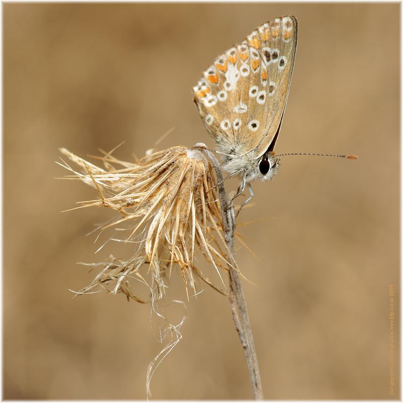 "photo ""Plebejus (Aricia) cramera"" tags: macro and close-up, nature, insect"