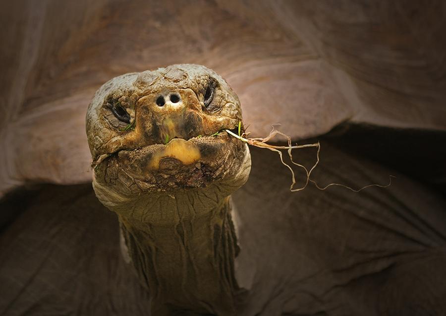 """photo """"Geochelone nigra"""" tags: nature, wild animals"""