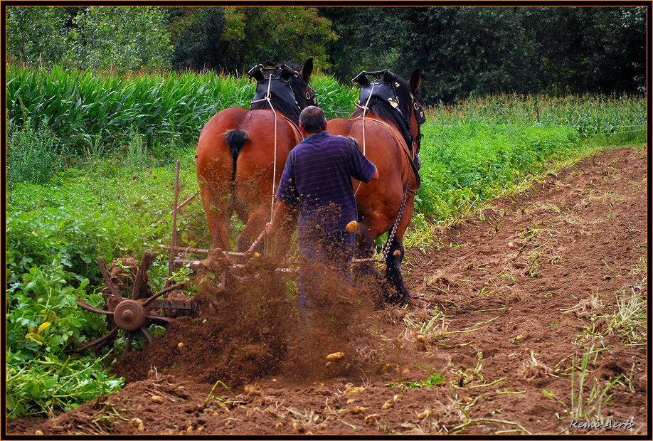 "photo ""the Potato harvest"" tags: reporting, nature, pets/farm animals"