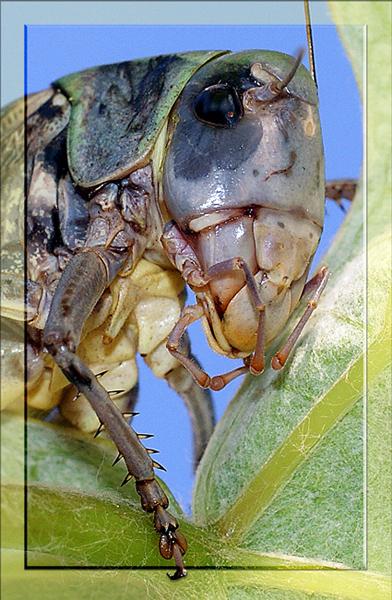"""фото """"Портрет кузнеца"""" метки: макро и крупный план, природа, насекомое"""