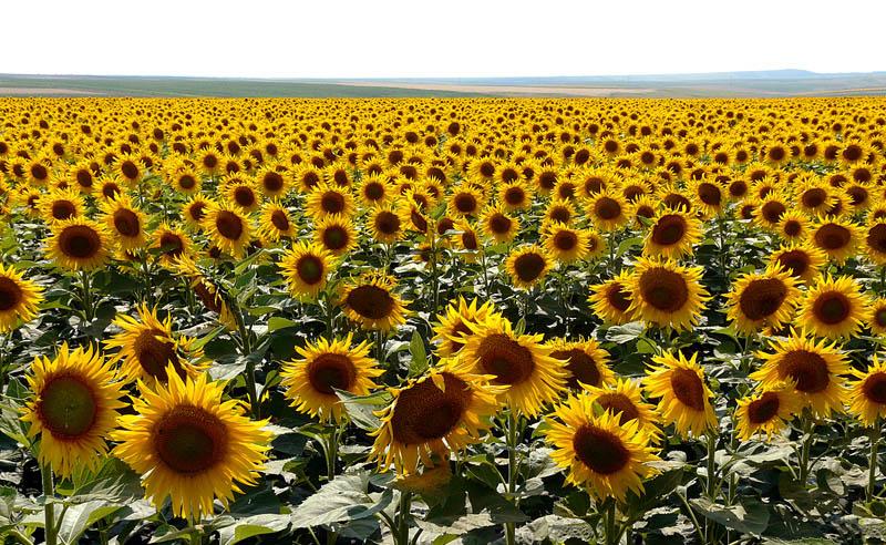 """фото """"Sun Flowers"""" метки: природа, пейзаж, лето, цветы"""