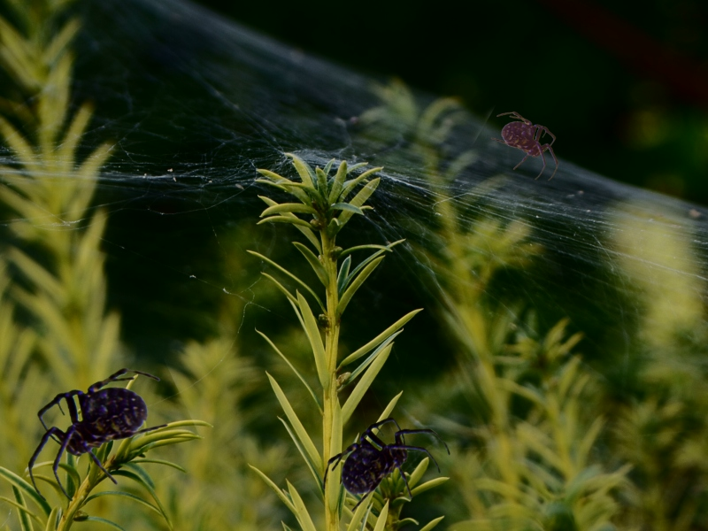 "photo ""Spiders, net and green"" tags: nature, insect"