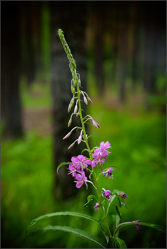 "photo ""Forest flower"" tags: nature, flowers"