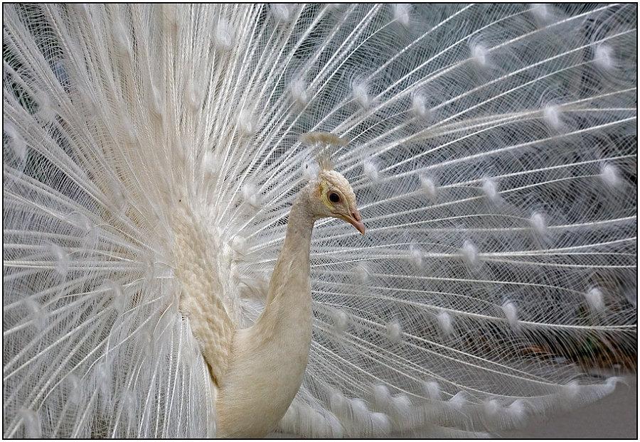 """фото """"Невеста"""" метки: природа, портрет, дикие животные"""