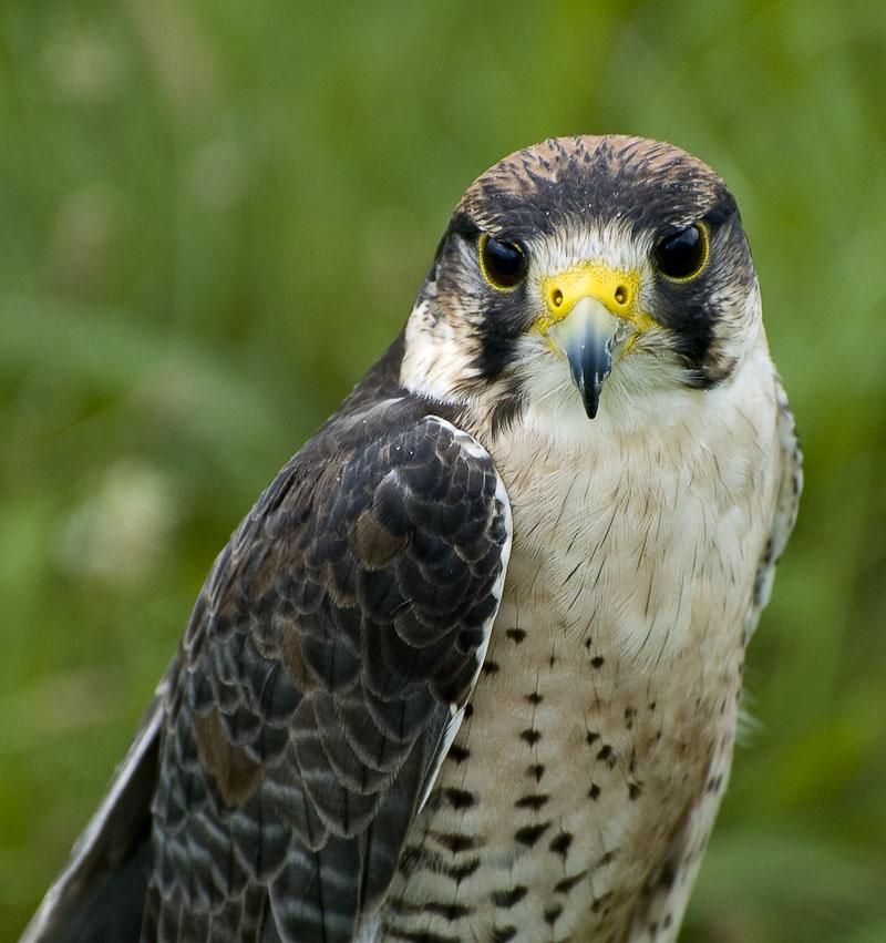 "photo ""Falcon"" tags: nature, wild animals"