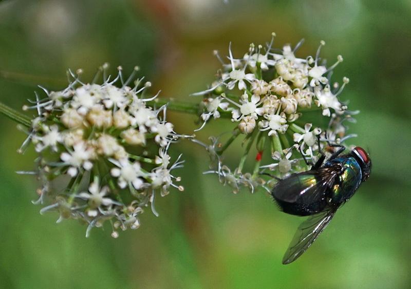 """фото """"Relative Pollinisation"""" метки: макро и крупный план, природа, насекомое"""