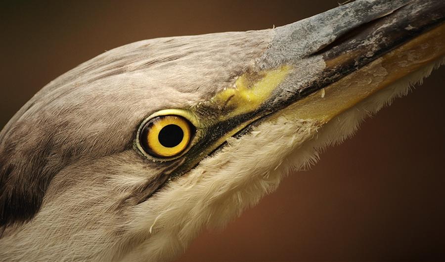 """фото """"Ardea cinerea"""" метки: природа, дикие животные"""