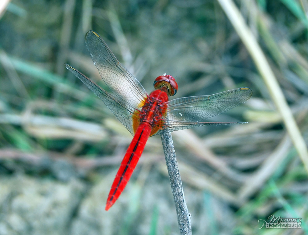 "photo ""DRAGON FLY"" tags: nature, insect"