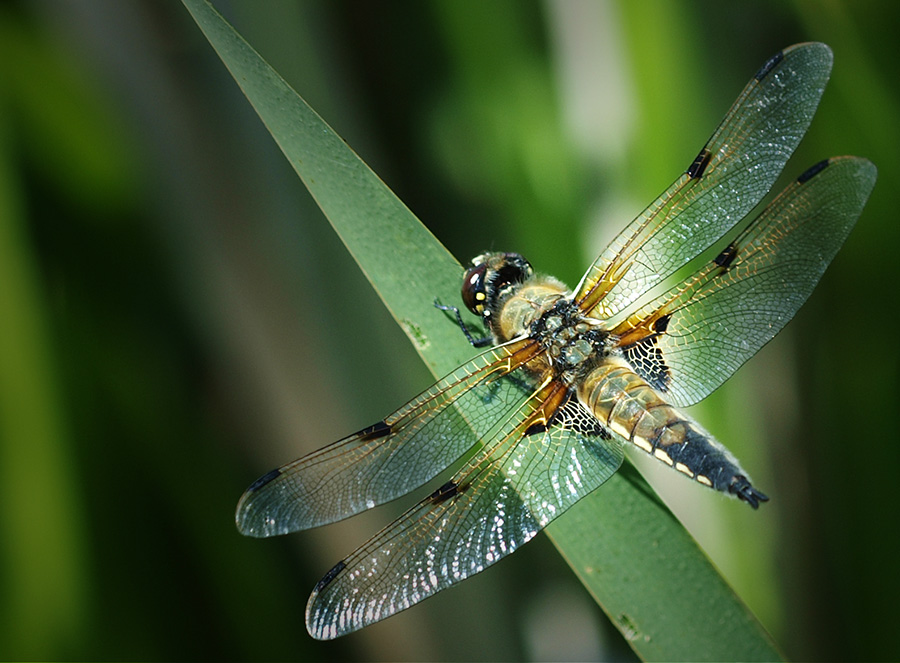 "photo ""Libellula quadrimaculata"" tags: macro and close-up, nature, insect"