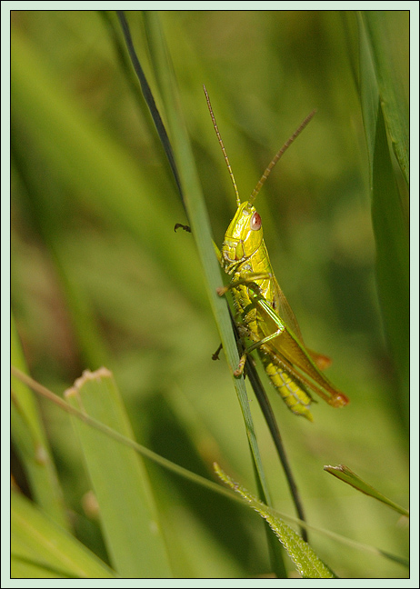 """фото """"Обитатель лугов"""" метки: макро и крупный план, природа, насекомое"""