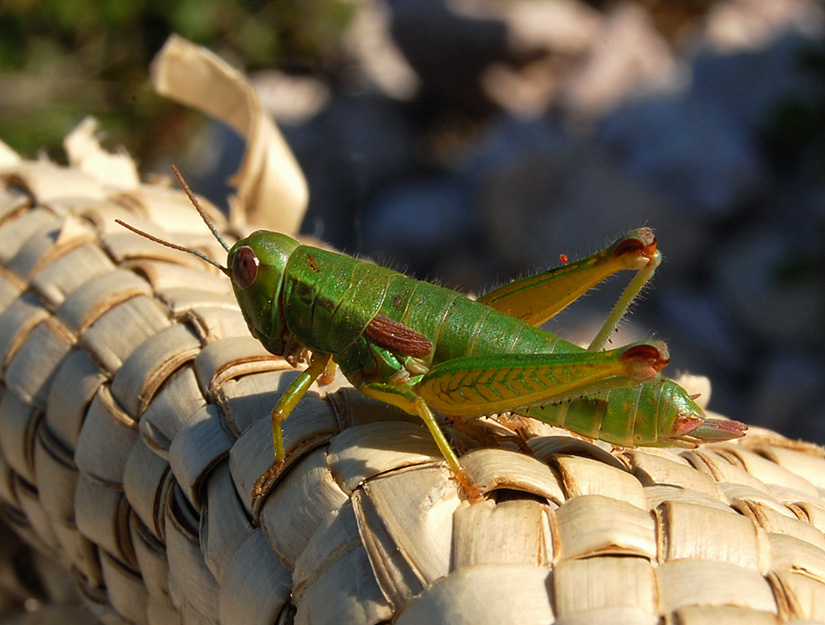 """фото """"Про смелых зеленых человечков"""" метки: макро и крупный план, природа, насекомое"""