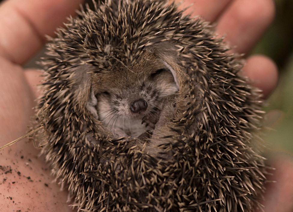 """фото """"Ёжик три, что снится маленькому ушастику.."""" метки: природа, дикие животные"""