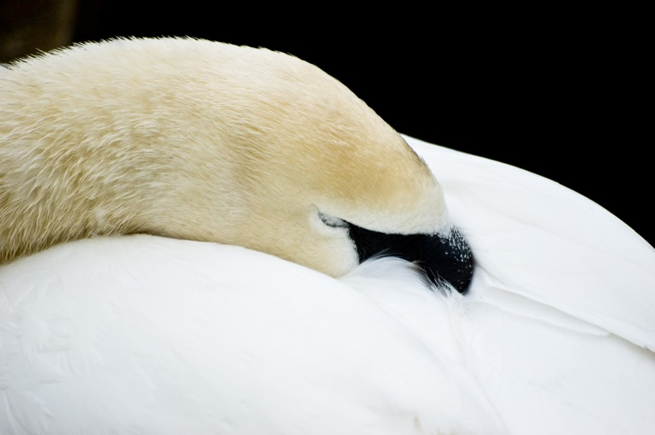"фото ""Спящий лебедь"" метки: ,"