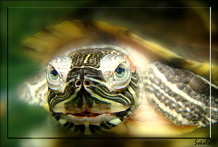 "photo ""макро,красноухая черепаха"" tags: nature,"