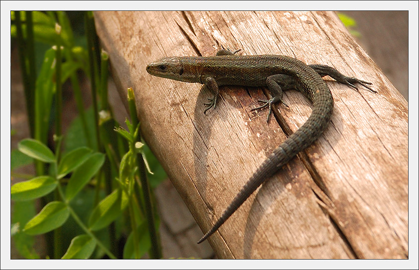 "photo ""Postcard with lizard"" tags: macro and close-up, nature,"