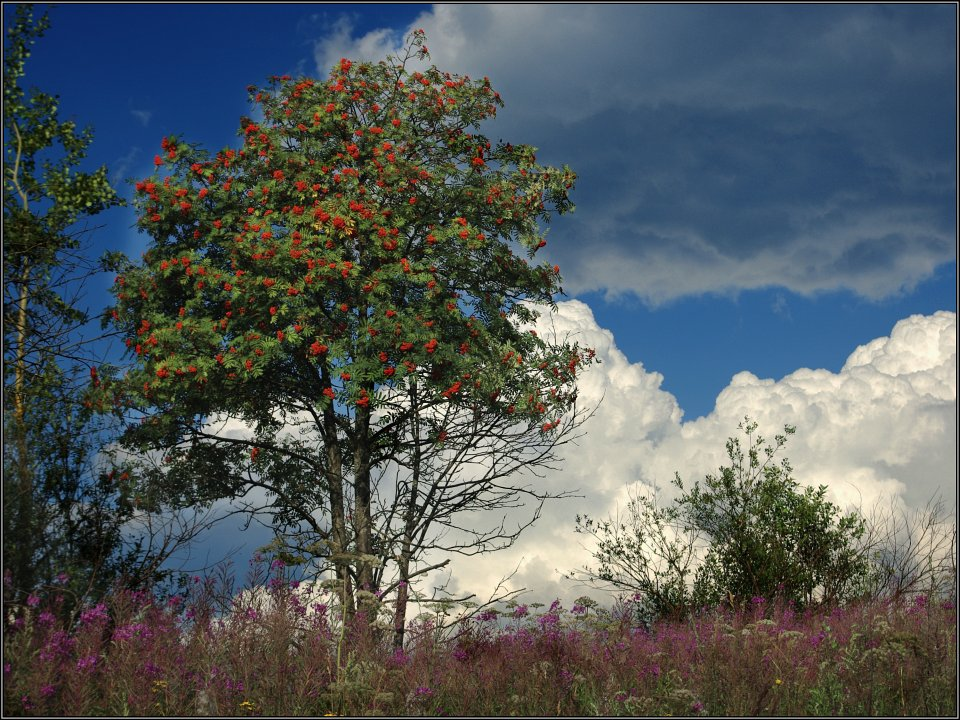 "photo ""European rowan tree"" tags: landscape, summer"
