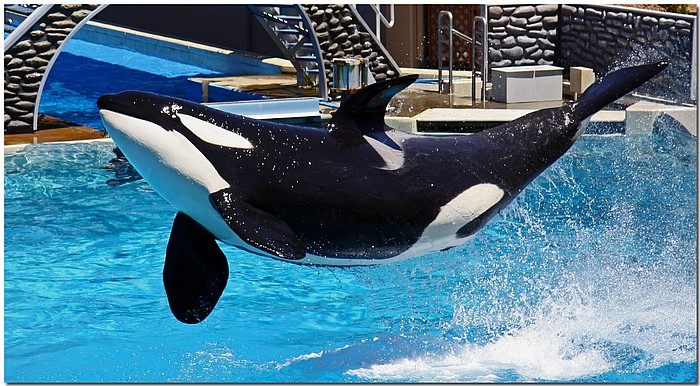 "photo ""When Orcas Fly"" tags: nature, reporting, wild animals"